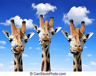 Giraffes on blue sky