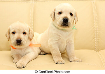 Labrador puppies - Group of adorable labrador puppies