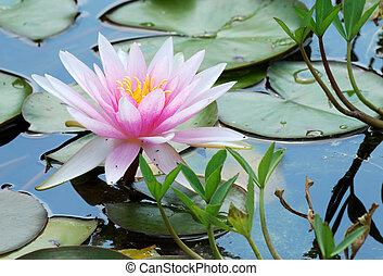 Water lily with leaves in the pond