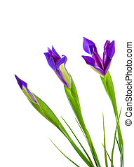 Three Blue Iris Flowers - Three blue iris flowers at various...