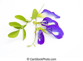 purple flower - Butterfly pea flower on a white background