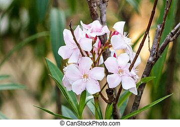Nerium oleander L - Pink Blossom Sweet oleander, Rose bay...