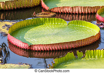 Giant Victoria waterlily. - Closeup Huge floating...
