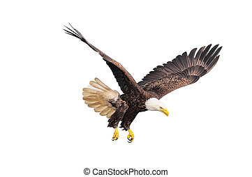 Bald eagle. - Bald eagle isolated on white background.
