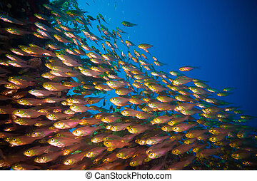 Coral and fish - Coral and glass fish in the Red Sea.Egypt