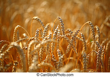Wheat field - Golden ears of wheat on the field