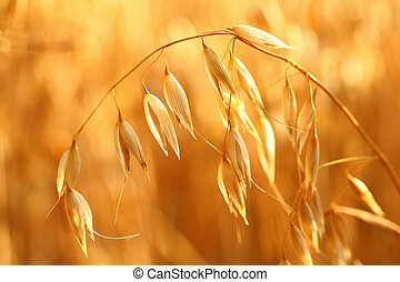 oat field - Golden ears of oat on the field.