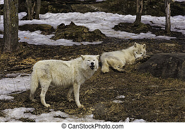 Arctic Wolf pack