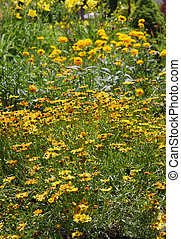 Flowers in the garden - Many Gerber and black eyed susans in...