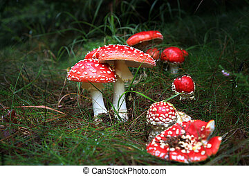 Spotted toadstools in the dark scary woods. Amanita muscaria...