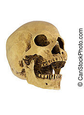 human skull - Human skull cranium isolated on white...