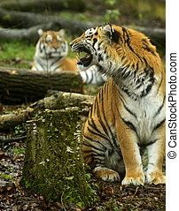 tigre, verano,  amur