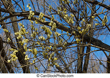 willow blossoms - spring bloom fluffy yellow willow against...