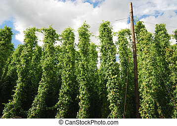 Growing hop - A filed with hop plants