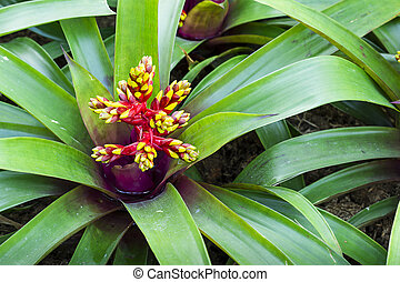 Red and yellow blooming bromeliad flower