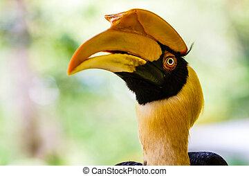 Great hornbill. - Great hornbill upper body and head shot in...