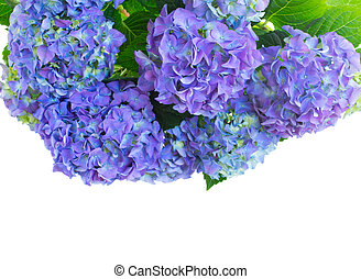 border of fresh blue hortensia flowers isolated on white...