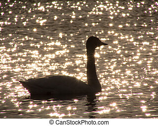 Silhouette of swan in sunset lake