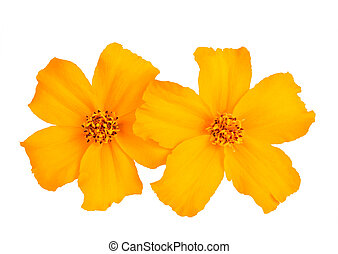 Tagetes - Yellow tagetes flowers isolated on white...