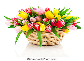 spring tulips in wooden basket, on white background. happy...