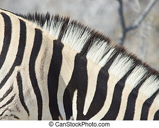 Zebra Stripes - Close up of the stripes of a Burchell's...