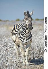 Zebra - Burchell's Zebra (Equus burchellii) standing staring...