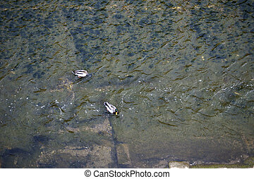 Diving duck - The photograph of two ducks via birds eye view...