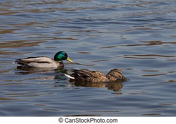 ducks - a pair of beautiful ducks swimming in clear water
