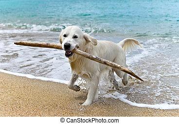 labrador retriever dog on beach - labrador retriever dog...