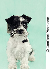 Parti Color Miniature Schnauzer Against Blue - Twelve week...