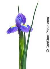 Light-blue iris - Beautiful light-blue iris isolated on...