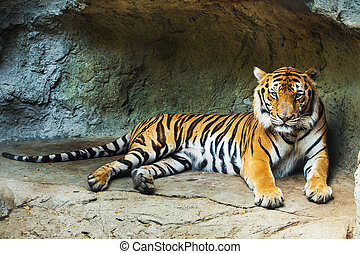 A tiger sitting in a zoo