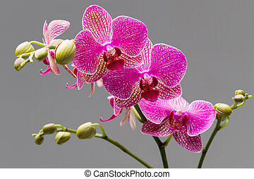 Orchid. - Pink orchid on a gray background. Studio...