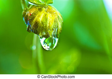 Dew Drop - Dew drop hanging off flower bud with reflection