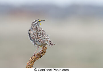 Western Meadowlark back view - Back view of a perched...