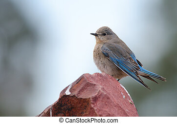 Mountain Bluebird - Mountain bluebird perched on stone...