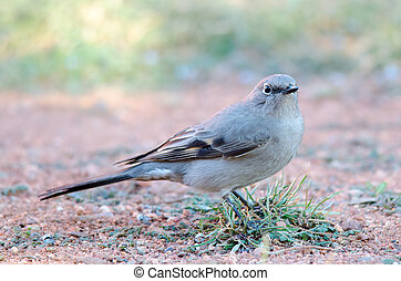 Townsend's Solitaire - Portrait of a Townsend's Solitaire,...