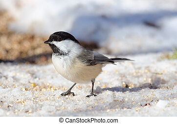 Black-capped Chickadee (Poecile atricapillus) - Black-capped...