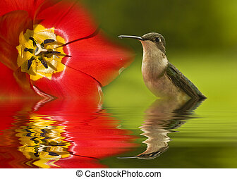 Humming Bird Pause - Hummingbird in flood with tulip