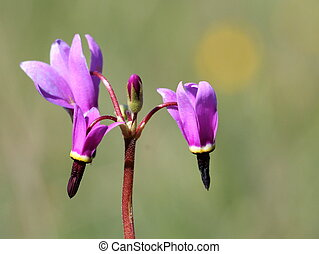 Broad-leaf Shooting Star Closeup - Closeup shot of a...