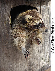 Funny raccoon in a hollow tree