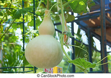 Bottle Gourd in the vegetable garden at Thailand