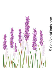 Lavender flovers isolated in white background. Vector EPS10.