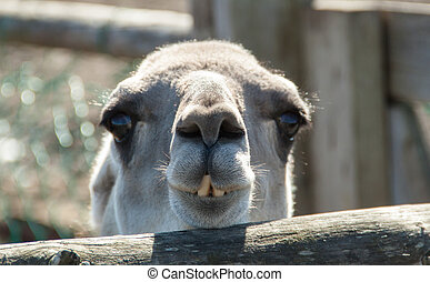 Small camel with crooked teeth looks ahead