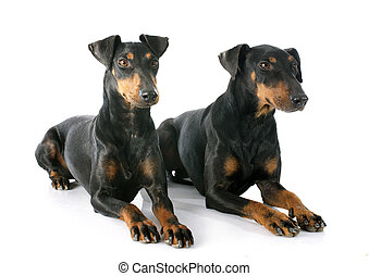 Manchester terriers in front of white background