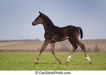 Black foal - Running black foal in spring field