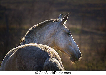Portrait of grey horse -  Beautiful grey horse at sunset