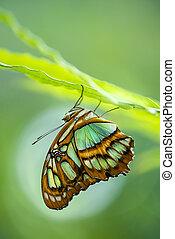 Malachite butterfly (Siproeta stelenes) - Malachite...