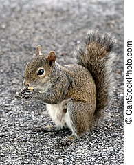 Squirrel Eating Snack - Squirrel snacking on a piece of...