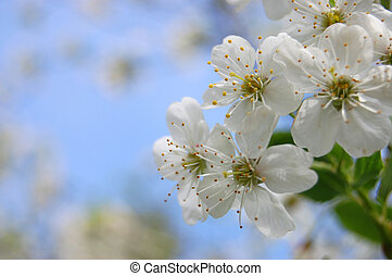 bloom cherry grow spring white